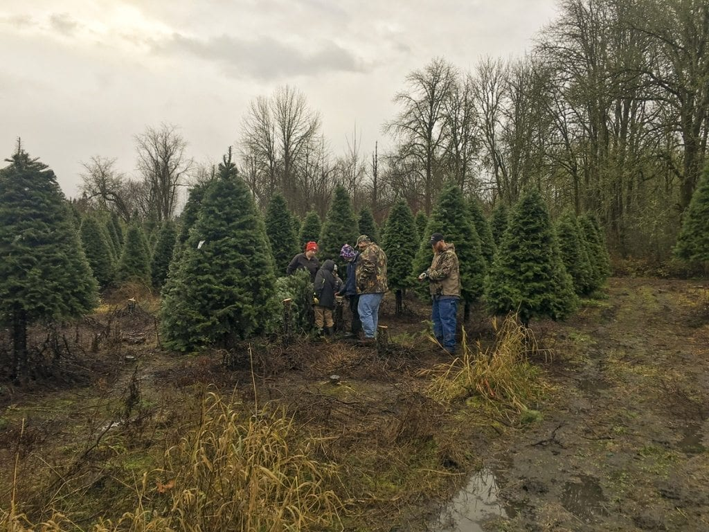 There are many beautiful trees to find at Thornton's Treeland: Douglas Fir, Noble Fir, Nordmann Fir, Fraser Fir and Grand Fir. Photo by Andi Schwartz