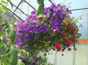 One of the many products offered at Hayes Family Growers are hanging baskets. Photo by Michael McCormic Jr.