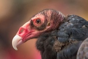 The turkey vulture Ruby impressed the audience at the Wild Birds of Prey event. The turkey vulture was also the 2017 BirdFest and Bluegrass bird of the year. Photo by Mike Schultz