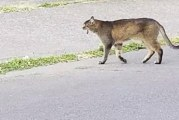 Was there really a cougar in Battle Ground?