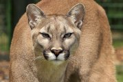 Possible cougar spotted inside the city of Battle Ground