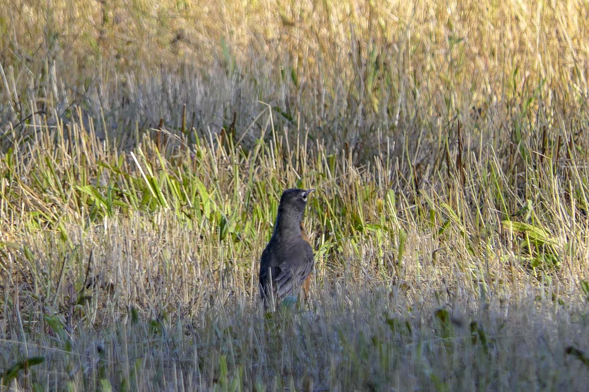 A Robin peeks out of some grass on property near the East Fork Lewis River tabbed to become the Lower Daybreak Regional Park. Photo by Chris Brown