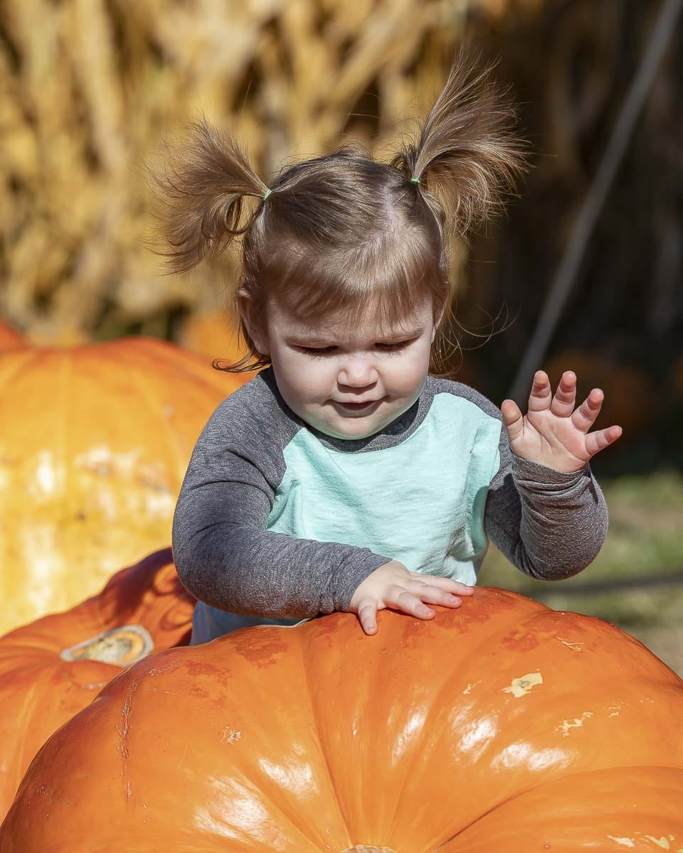 Olive Dominici from Vancouver searches for the perfect pumpkin with her family at Joe's Place Farms. Photo by Mike Schultz
