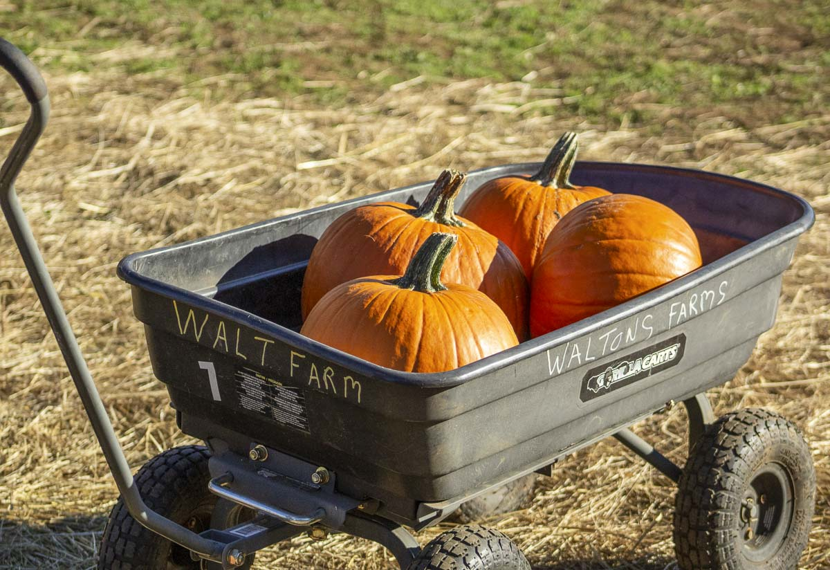 Waltons Farms has been growing full-size pumpkins for more than 12 years now. Every guest has a pumpkin included with their admission fee. Photo by Jacob Granneman