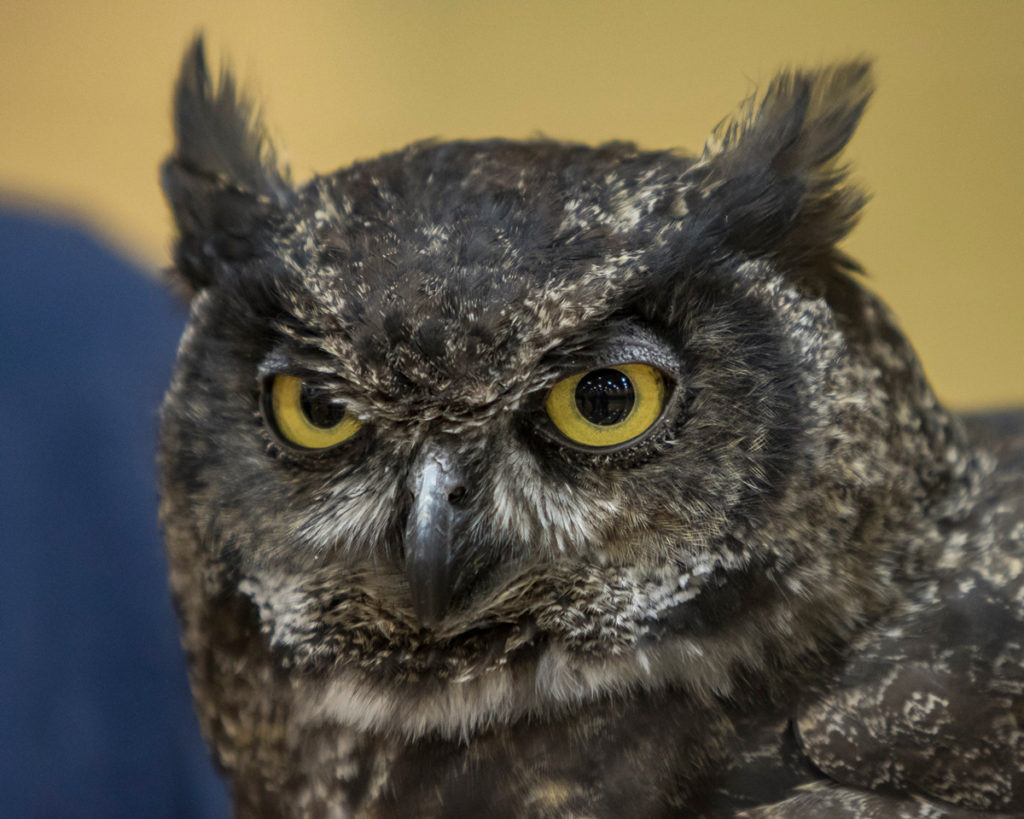 Julio, a great horned owl on display during the live bird show presented by Audubon Society of Portland at View Ridge Middle School. Photo by Mike Schultz.