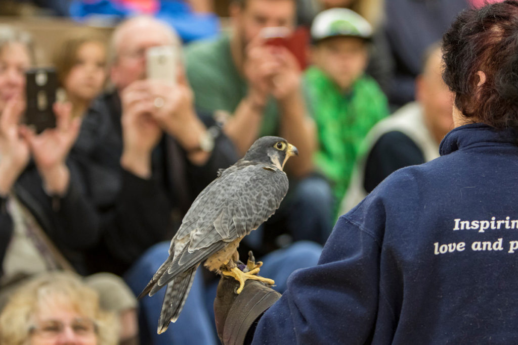 Barbara DeManincor, a volunteer for the Audubon Society of Portland with Finnegan, a Peregrine Falcon during the live bird show at View Ridge Middle School. Photo by Mike Schultz.