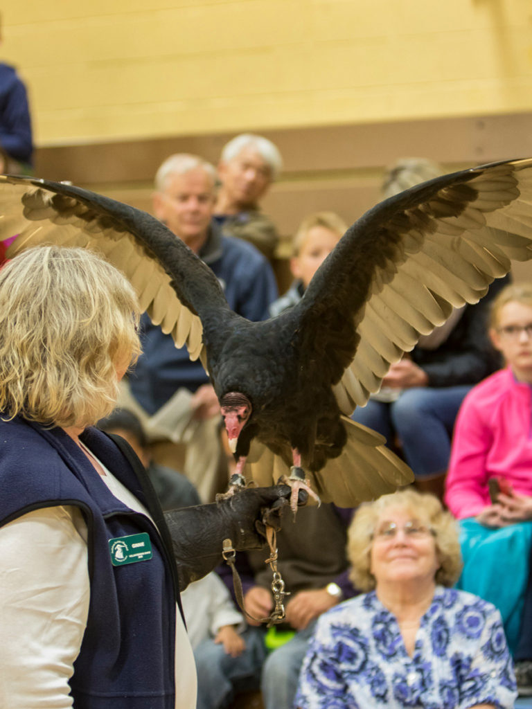 Ginnie Ross, a volunteer for the Audubon Society of Portland with Ruby, a turkey vulture during the live bird show at View Ridge Middle School. Photo by Mike Schultz.