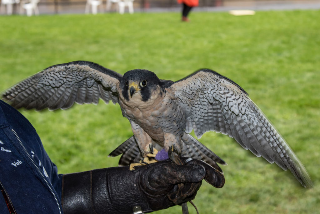 Finnegan, a Peregrine Falcon on display at Davis park in downtown Ridgefield presented by Audubon Society of Portland. Photo by Mike Schultz.