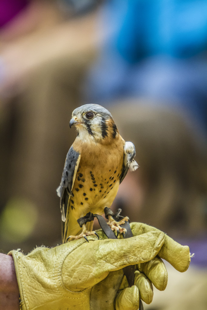 A member of the Audubon Society of Portland holds an American kestrel for BirdFest attendees to see during the 2014 Ridgefield BirdFest & Bluegrass event. Photo by Mike Schultz