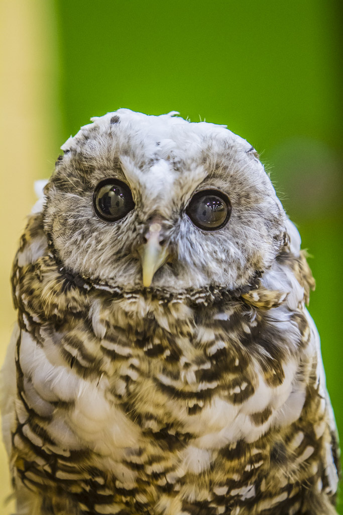 This spotted owl was a sight to see at the 2014 Ridgefield BirdFest & Bluegrass Celebration. Photo by Mike Schultz