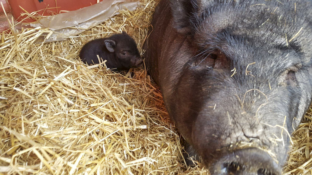 This American Guinea hog, Patty, was upset to have two of her three 2-week-old piglets taken from her sometime overnight on Saturday. Fortunately, she was reunited with one, but the other was found deceased. Photo from Bi-Zi Farms Facebook page