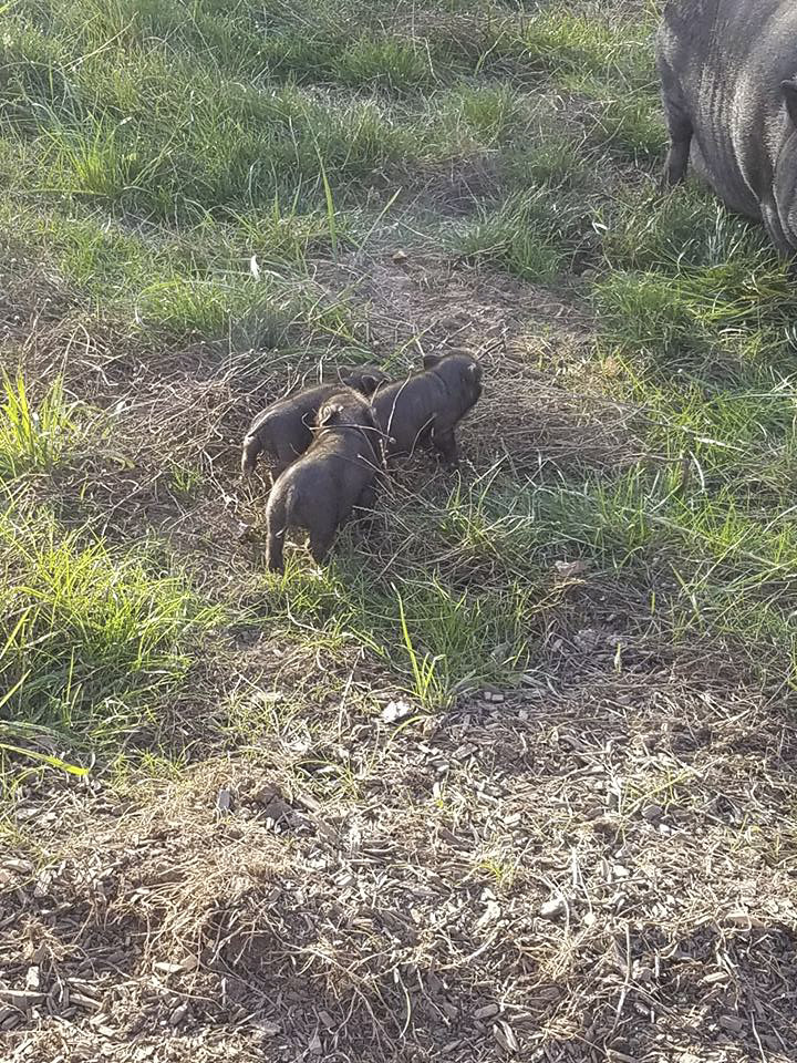 This litter of American Guinea hogs was the very first litter to Patty, the mother pig. Patty was happy to have one of two babies that were stolen returned to her on Sunday. Photo from NW Love All Animal Rescue's Facebook page