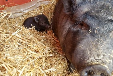 One of two baby pigs taken from Bi-Zi Farms returned to mother