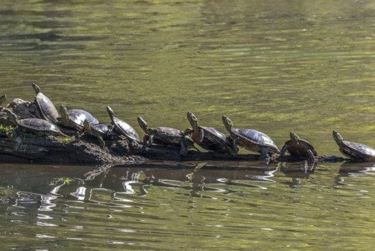 painted-turtles-basking-in-the-sun