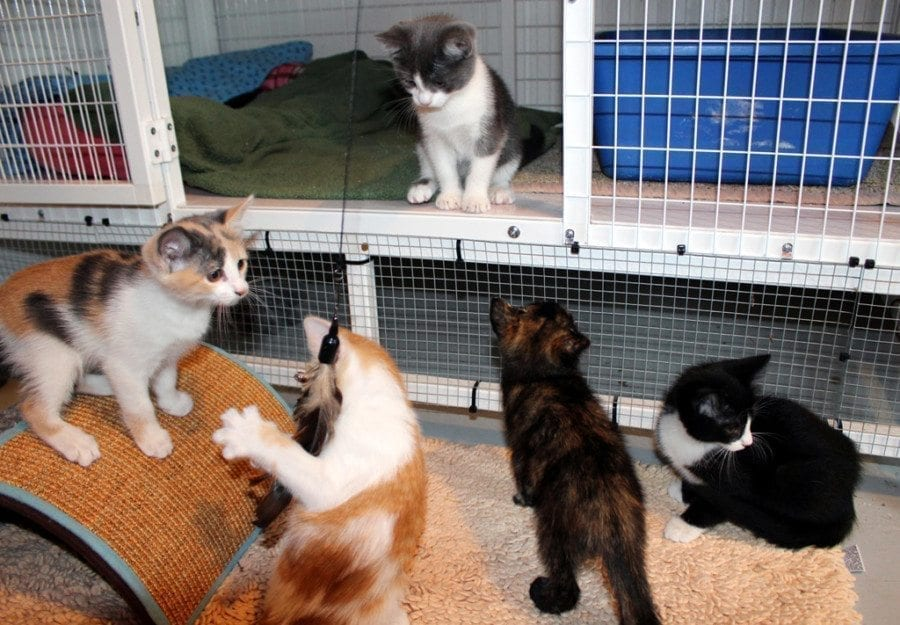 Kitten Season is coming and the volunteers at Furry Friends are inviting Clark County residents to provide foster homes for kittens in the care of the nonprofit organization. Photo courtesy of Diane Stevens