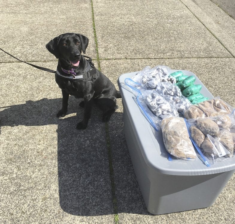 Clark County Sheriff's Office K-9, Piper, was crucial in the investigation and eventual bust of three Vancouver residents suspected of dealing narcotics throughout the area. Photo courtesy of Clark County Sheriff's Office