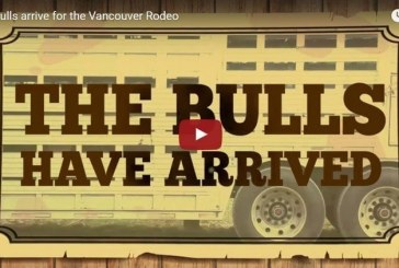 The bulls arrive for the Vancouver Rodeo