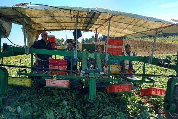 During the height of the season at Bi-Zi Farms, 25 people work to pick crops. The women shown in this picture are harvesting pickling cucumbers. Pictured (from left) are Maria Ayala, Arcelia Meza, Ursula Ruiz, and Adriana Uroza. Photo courtesy of Jackie Genis