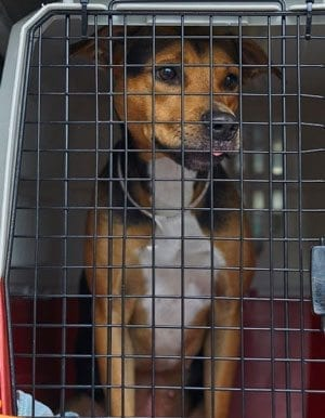 The Humane Society for Southwest Washington recently took in 24 dogs from shelters that had been affected by Hurricane Irma in Florida. Photo courtesy of the Humane Society for Southwest Washington