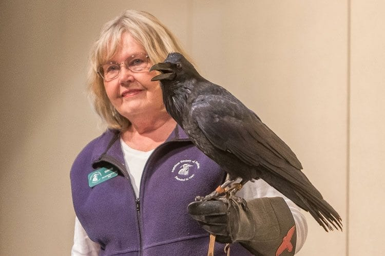 Audubon Volunteer displays the raven Aristophanes during the Wild Birds of Prey presentation at Union Ridge Elementary School. Photo by Mike Schultz