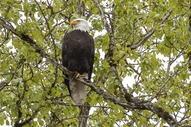 A bald eagle perched high above Klineline Pond Saturday was among dozens of birds looking to snatch a meal from the water after more than 14,000 hatchery fish were deposited into netted areas of the pond in preparation for the derby Thursday. Photo by Mike Schultz