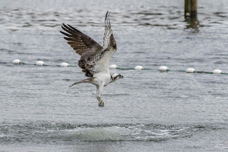 An osprey tries for an easy snack after salmon were trucked to Klineline Pond Thursday ahead of the Friday and Saturday fishing derby. Photo by Mike Schultz