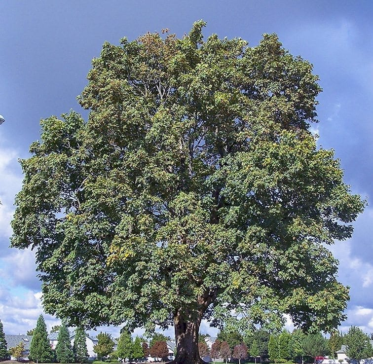 A large maple tree at Clearmeadows Park is one of the city's Heritage trees. Photo provided by the city of Vancouver