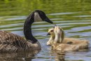 Clark County in Focus: A fowl situation at the Ridgefield Wildlife Refuge