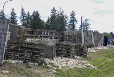 Overturned semi spills thousands of chickens along SR-502