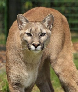 A possible cougar was spotted Thursday morning in Battle Ground. Stock photo.