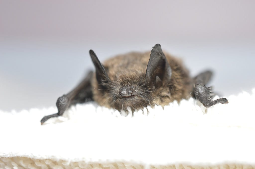 A little brown bat is seen in this photograph provided by the U.S. Fish and Wildlife Service.