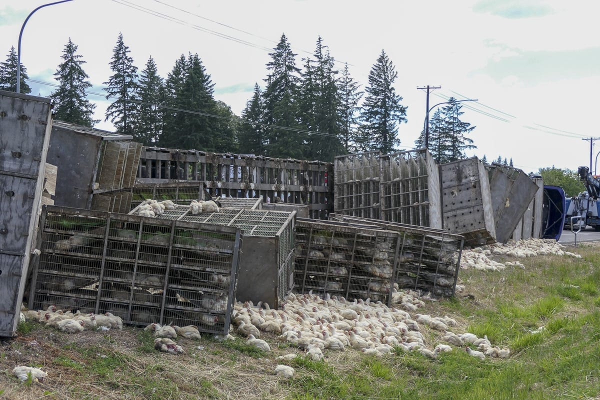 A truck loaded with at least 5,000 chickens flipped along SR-502 west of Battle Ground when the driver made an illegal U-turn on June 25. Photo by Chris Brown