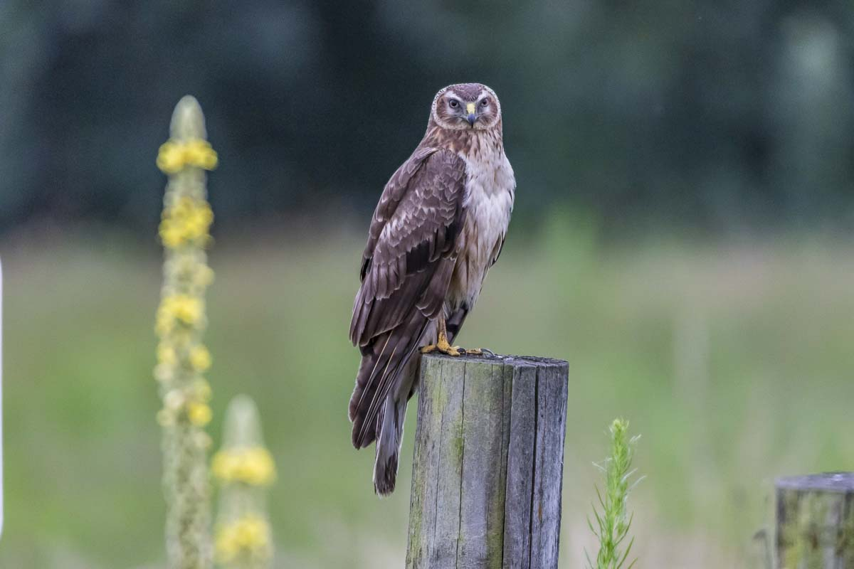 A Northern Harrier, or Marsh Hawk, perches on a wooden post in Steigerwald Lake National Wildlife Refuge. The Marsh hawk is a bird of prey; one of 200 bird species spotted in the refuge. Photo by Mike Schultz