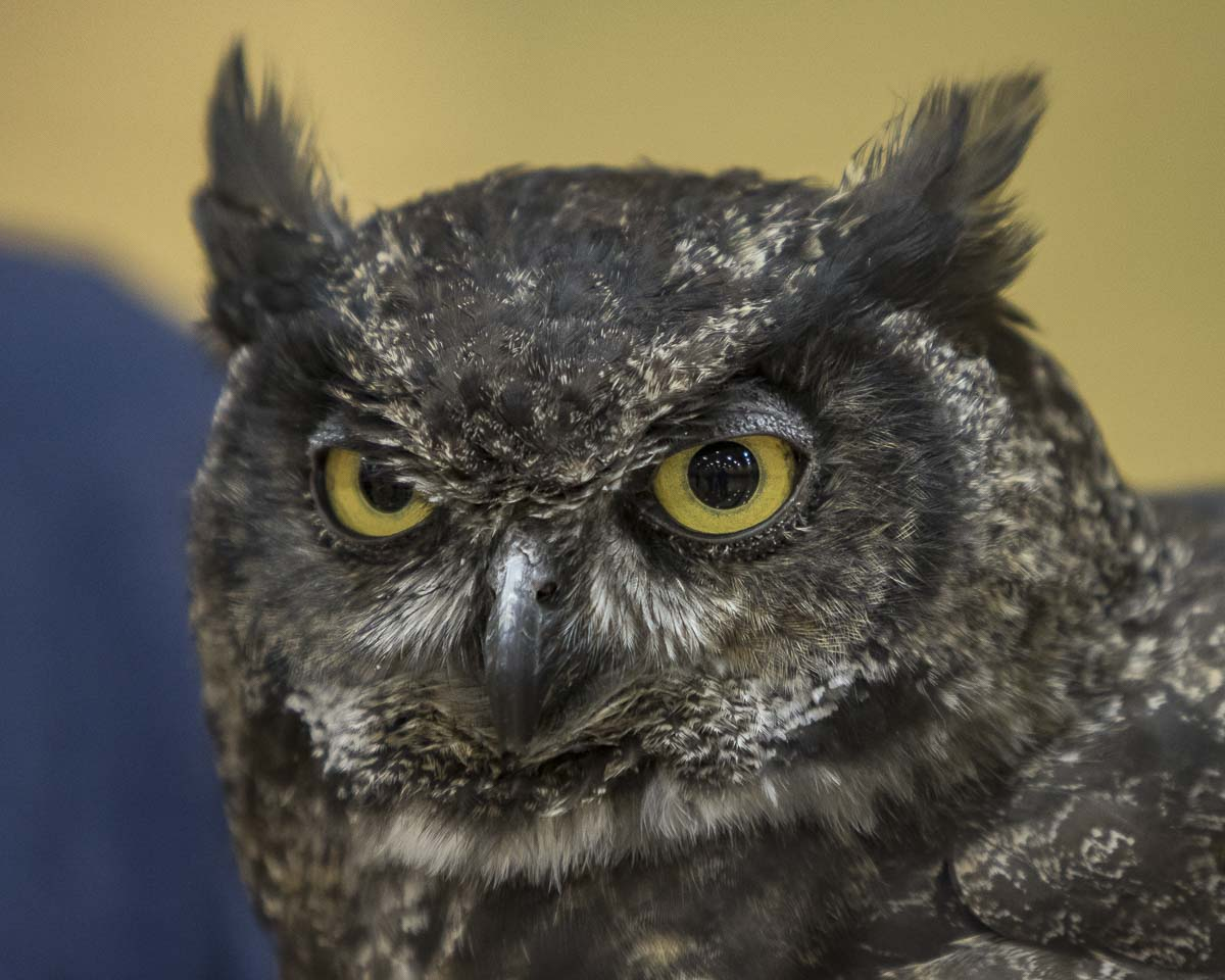 A Great Horned Owl stares unblinking at observers at last years Birdfest in Ridgefield. Many different kinds of rare birds will be visible at the event this weekend. Photo by Mike Schultz