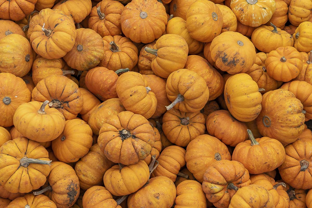 Mini pumpkins fill huge containers at Joe's PLace Farms during Oct. for use in decoration and cooking. Photo by Mike Schultz