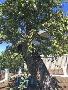 Vancouver's Old Apple Tree turns 192 this year. Photo courtesy of city of Vancouver