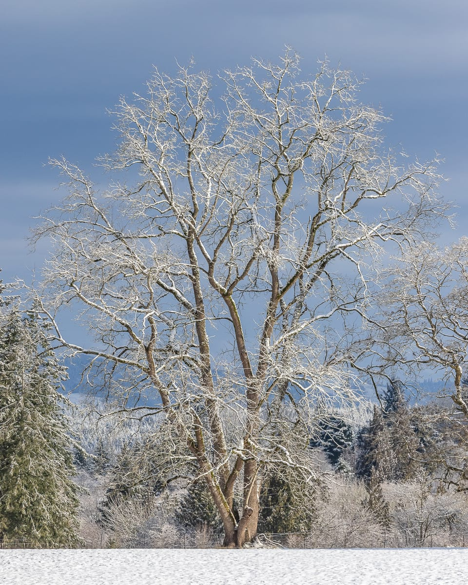 Snow covers a tree in Ridgefield. Photo by Mike Schultz