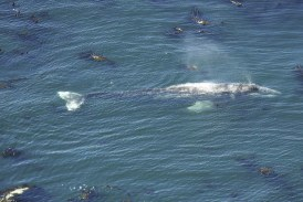 Spring Whale Watch Week runs March 23-31 at the coast