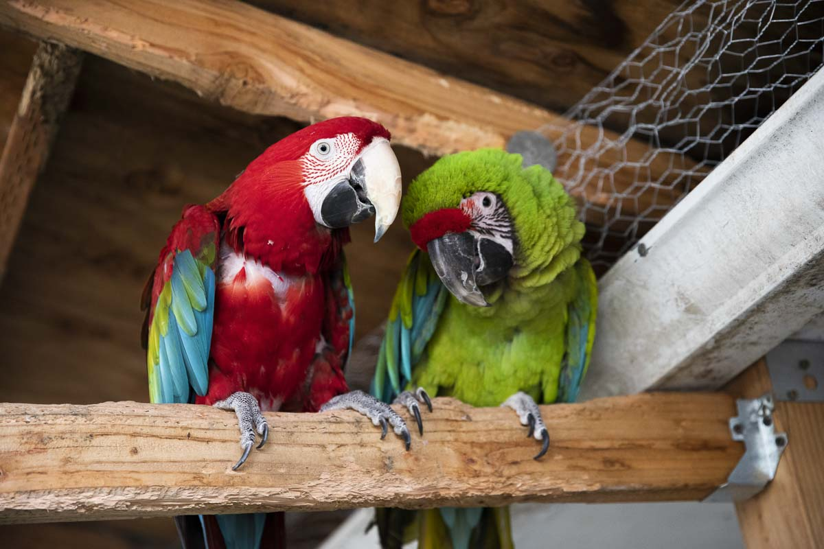 Two rescued Macaws play together in the NW Bird Rescue aviary. Any of these birds are available to adopt through the Parrots for Patriots program. Photo by Jacob Granneman