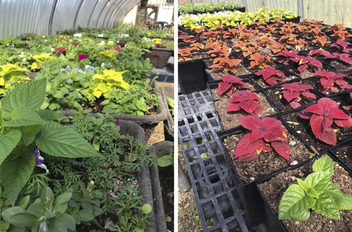 A variety of annual and perennial bedding and flowering plants, as well as vegetable starts and hanging baskets grown by high school students in Battle Ground Public Schools' greenhouses, will be available for purchase at upcoming public sales. Photo courtesy of Battle Ground School District