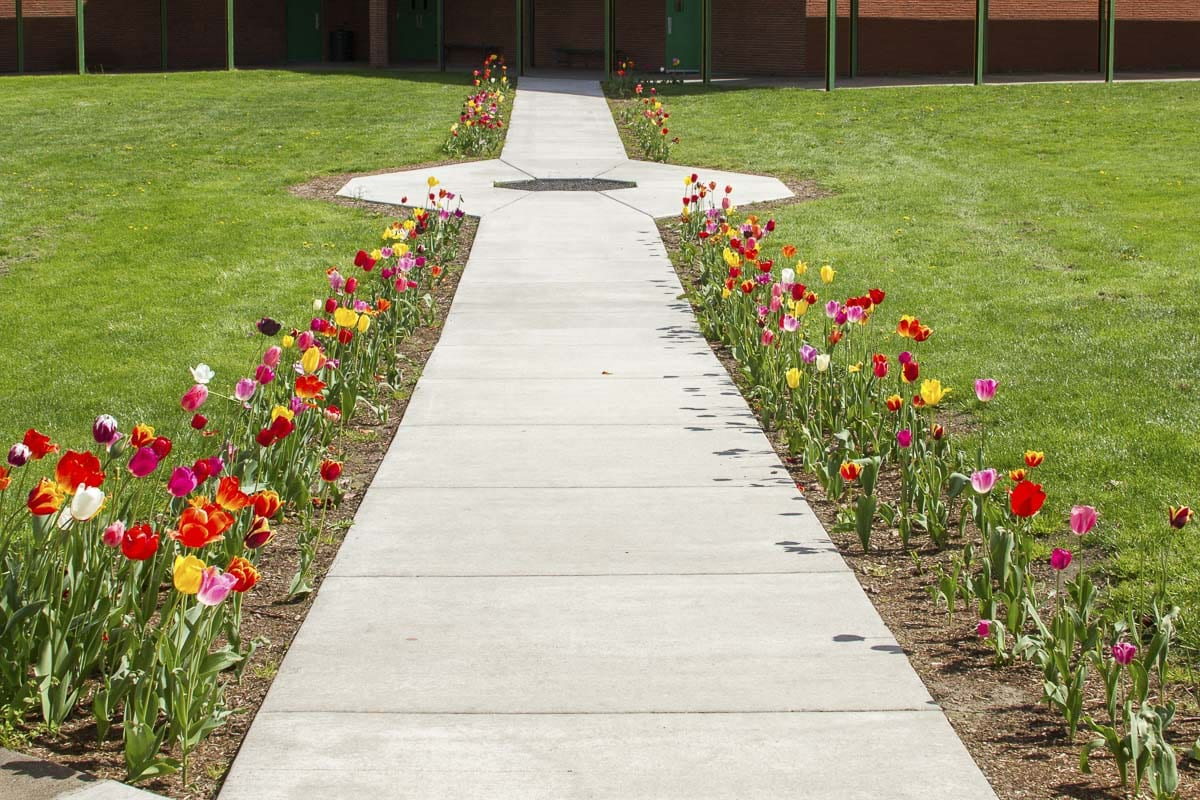 In addition to caring for the school greenhouse and garden, horticulture students also take part in other projects such as this year's planting of hundreds of tulips around the middle school campus. Photo courtesy of Woodland School District