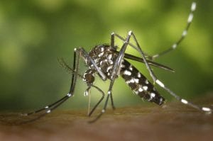 Asian Tiger Mosquito. Stock photo