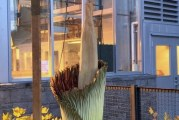 Rare corpse flower now in bloom at WSU Vancouver