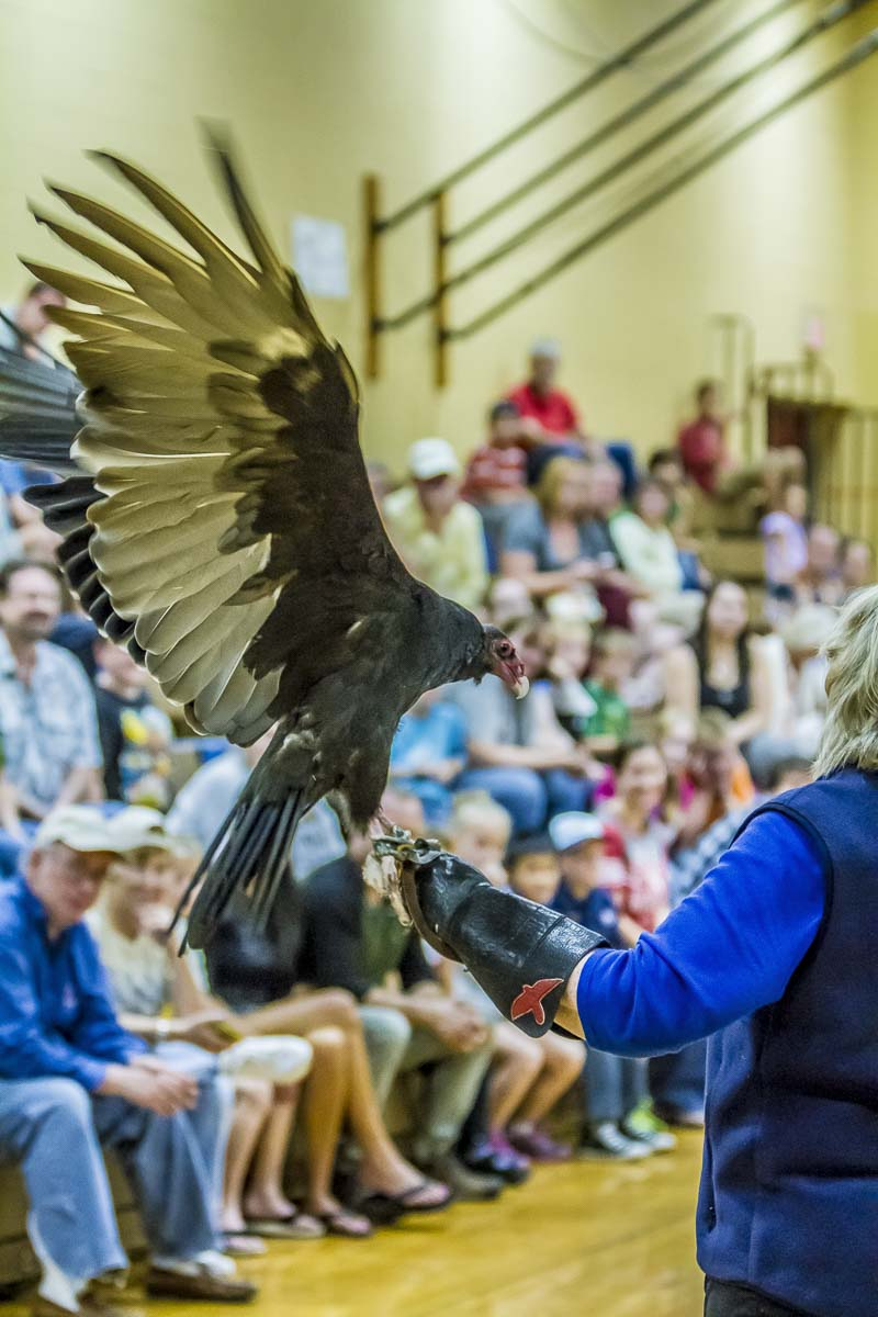 Attendees at the 2018 BirdFest & Bluegrass Festival in Ridgefield had the chance to view this Turkey Vulture. This year's event will take place Sat., Oct. in downtown Ridgefield. Photo by Mike Schultz