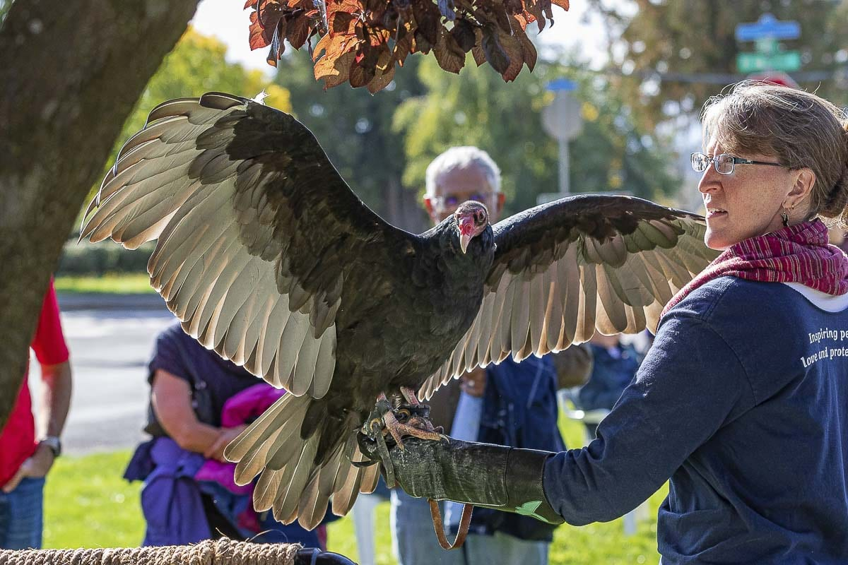 "April Brown, from the Audubon Society of Portland, shows ""Ruby the Turkey Vulture'' Saturday at the annual BirdFest & Bluegrass Festival in Ridgefield. Photo by Mike Schultz"