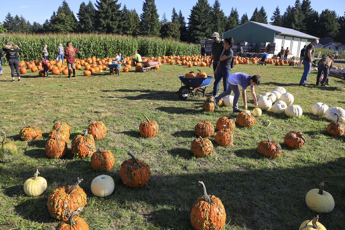 At Joe's Place Farms, wheelbarrows are provided for easy transport of pumpkins from the field to your vehicle. There is no limit on how many pumpkins per person. Photo by Chris Brown
