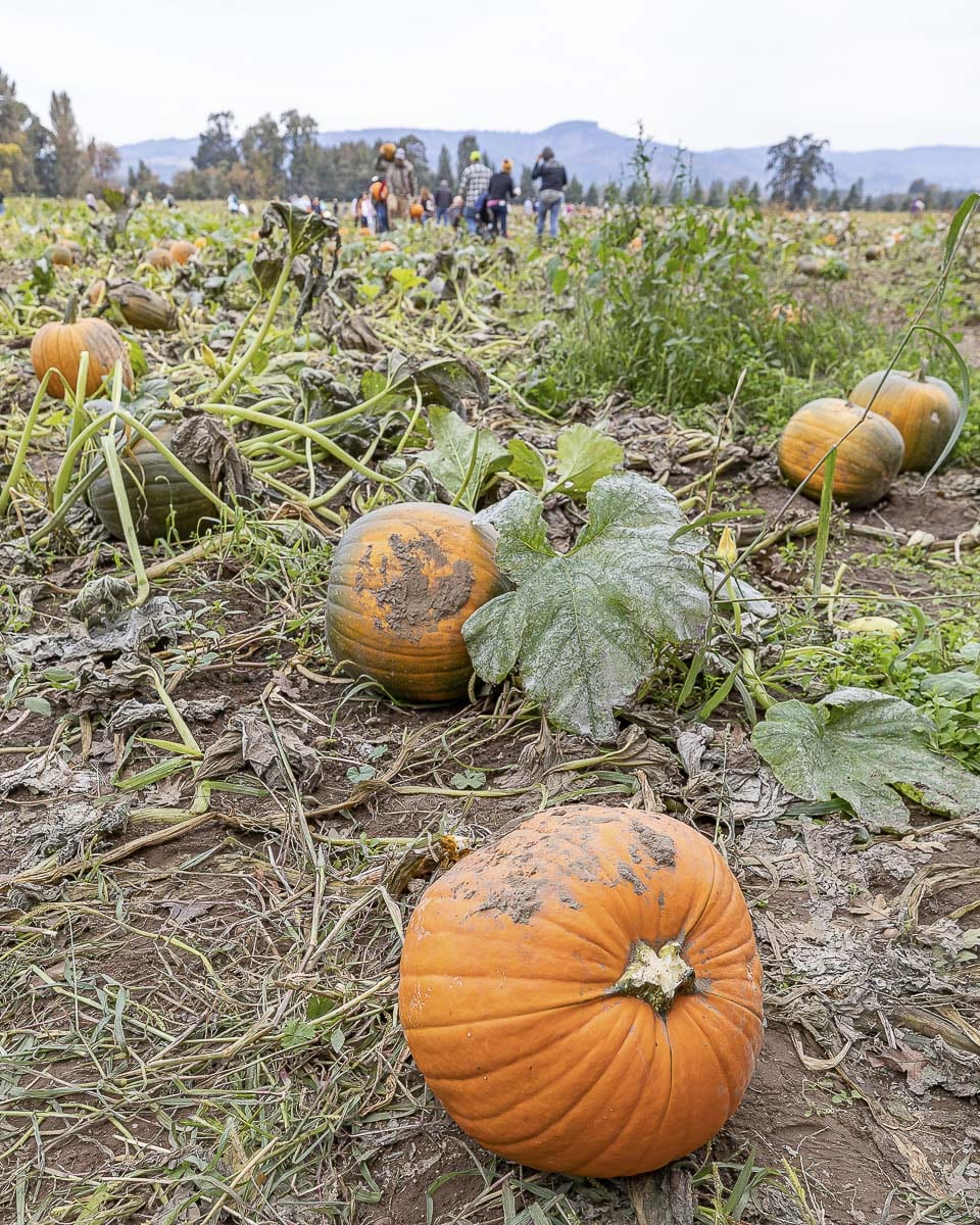 At The Patch in Woodland, you will find over 60 varieties of pumpkins, with very small table-sized ones for only $2 and massive great pumpkins for up to $40. Photo by Mike Schultz
