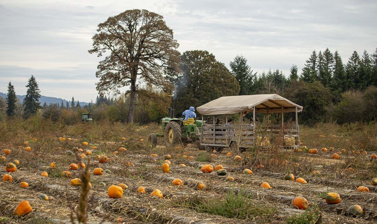 Carter Strever drives the hayride tractor and wagon through the fields of Vancouver Pumpkin Patch so visitors can pick their own pumpkins and gourds. Photo by Jacob Granneman