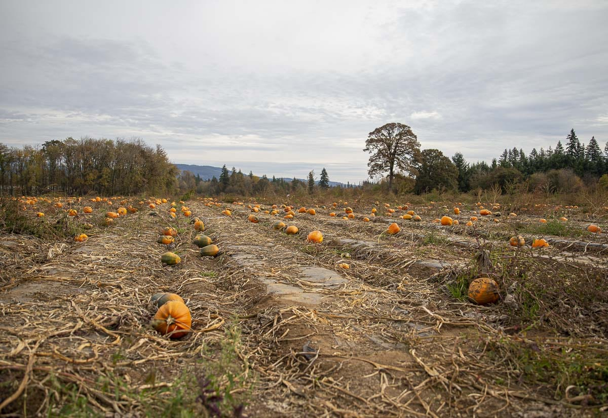 Thousands of pumpkins line the rows of Vancouver Pumpkin Patch. The farm actually planted two additional acres of the gourds this year. Photo by Jacob Granneman