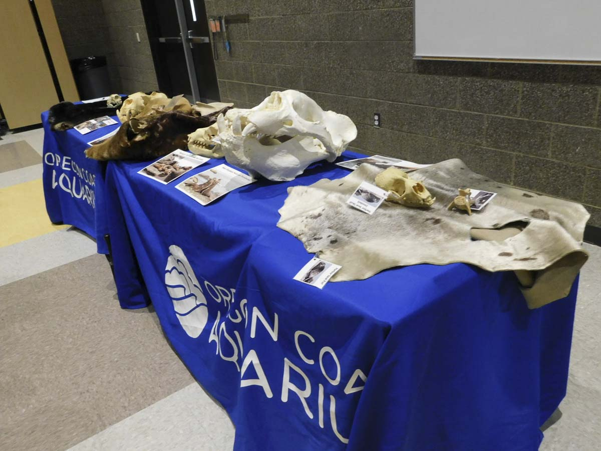 The Oregon Coast Aquarium displayed tables of biofacts during their visit to South Ridge Elementary School. Students could see what a harbor seal pelt felt like and see a large sea lion skull. Photo courtesy Ridgefield Public Schools